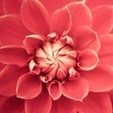 桃红色新鲜的大丽花花宏指令照片 在强调浅粉红色的颜色和黄色聚焦的颜色的图片 库存图片