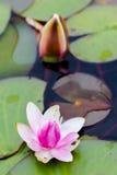 桃红色新鲜的开阔水域百合,睡莲科,在湖 库存图片