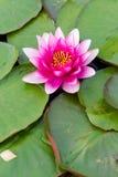 桃红色新鲜的开阔水域百合,睡莲科,在湖 免版税库存照片