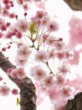 桃红色日本佐仓樱花过于暴露 免版税库存图片