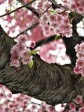 桃红色日本佐仓樱花过于暴露 库存照片