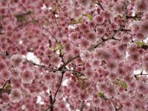桃红色日本佐仓樱花 库存照片