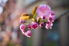 桃红色日本樱桃树开花 佐仓 图库摄影