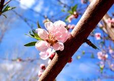 桃红色春天开花 库存照片