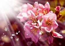 桃红色春天树花,樱花 免版税库存照片