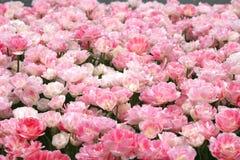 桃红色春天郁金香 库存图片