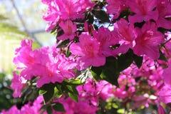 桃红色春天 库存图片