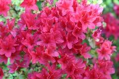 桃红色春天 库存照片