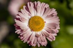桃红色春黄菊关闭在绿色背景 库存照片