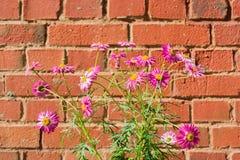 桃红色春黄菊开花在红砖背景的除虫菊植雏菊 库存照片