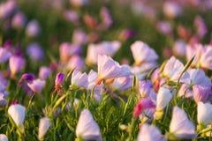 桃红色晚樱草在黎明 免版税库存图片
