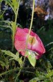 桃红色月亮花在秋天 免版税库存图片