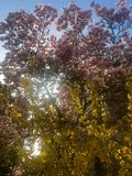 桃红色木兰和黄色连翘属植物开花 库存图片