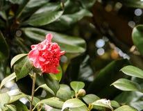 桃红色木兰在中国庭院里 图库摄影