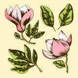 桃红色木兰花和绿色叶子 向量例证