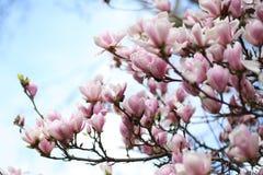 桃红色木兰开花在巴黎 图库摄影
