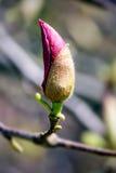 桃红色木兰开花芽 库存照片