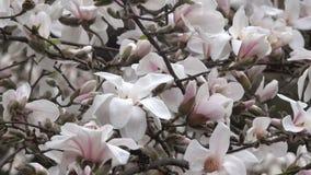 桃红色木兰美妙地开花