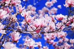 桃红色木兰花在蓝天背景的 免版税图库摄影