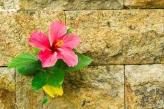 桃红色木槿和棕色砖墙 库存照片
