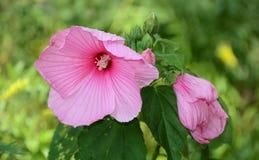 桃红色木槿是庭院陈列室花 库存照片