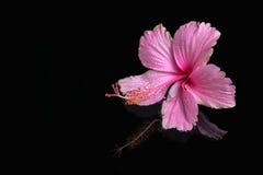 桃红色木槿温泉静物画开花与在深水的下落, 免版税图库摄影