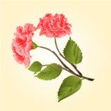 桃红色木槿热带花传染媒介 免版税库存照片