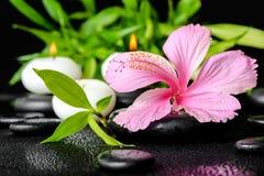 桃红色木槿美丽的温泉静物画开花,枝杈的竹子 免版税库存图片
