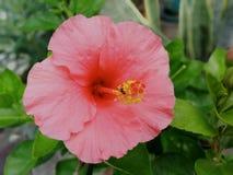 桃红色木槿花在庭院里 库存照片