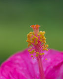 桃红色木槿花的特写镜头图象 免版税图库摄影
