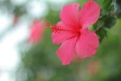 桃红色木槿 库存图片