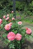 桃红色杂种香水月季 免版税库存图片
