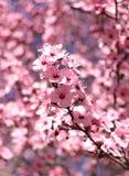 桃红色李子在与浅景深的一个春日开花 免版税库存照片