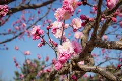 桃红色李子开花在冬天 免版税库存图片