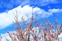 桃红色李子开花的树 免版税图库摄影