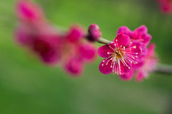 桃红色李子花在春天 免版税库存图片