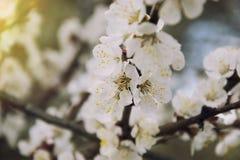 桃红色杏子开花在春天 免版税库存图片
