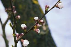 桃红色杏子开花在春天 库存照片