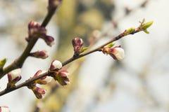 桃红色杏子开花在春天 库存图片