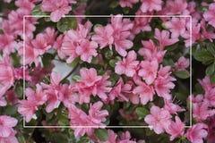 桃红色杜娟花灌木与一个白色框架的 库存照片