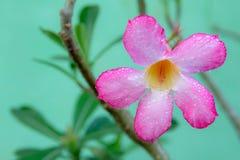 桃红色杜娟花背景在花园,桃红色花里 免版税库存照片