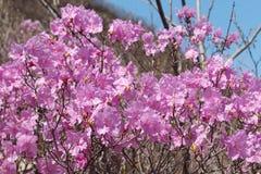 桃红色杜娟花花在天空蔚蓝背景的春天 免版税图库摄影