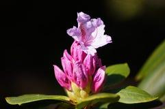 桃红色杜鹃花。 免版税图库摄影