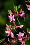 桃红色杜鹃花。 图库摄影