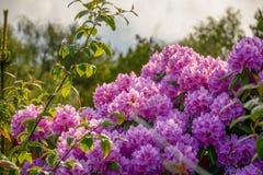 桃红色杜鹃花在绿色灌木背景开花 挪威, 免版税库存图片