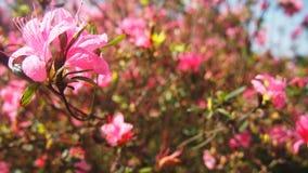 桃红色杜鹃花樱花花分支台湾 库存照片