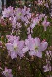 桃红色杜鹃花第一朵春天花  r 免版税库存照片
