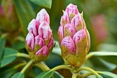 桃红色杜鹃花花在庭院里 r 狂放的杜鹃花花在庭院里 与玫瑰的春天背景 免版税库存图片