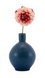 桃红色查出的大丽花花绽放减速火箭的蓝色花瓶 免版税库存图片