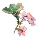 桃红色栀子 花卉植物的花 被隔绝的野生春天叶子野花 免版税图库摄影